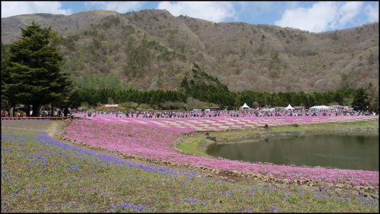 Fuji Shibazakura viewing platform